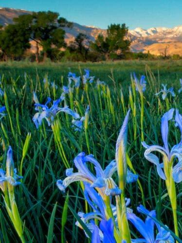 Verazui Wild Blue Iris Hardy Perennial Plant Now 100seeds