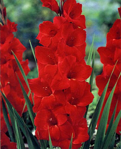 GLADIOLUS BULB 20 PACK RED SENSATION STUNNING RED PERENNIAL GLADIOLUS BULBS FLOWERS