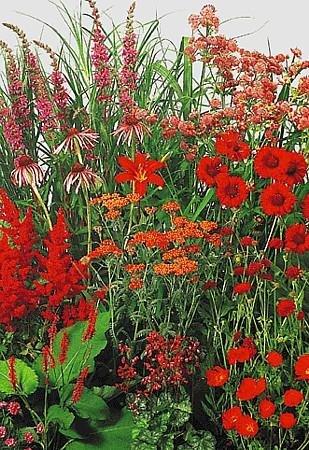 Red Perennial Garden 50 Seeds - Medium Height