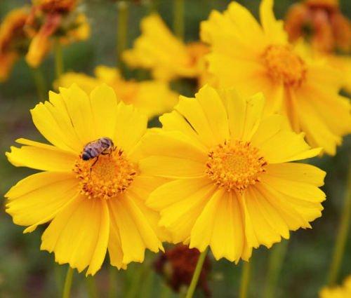Coreopsis LANCELEAF Tall Perennial Coreopsis Lanceolata - 500 Seeds