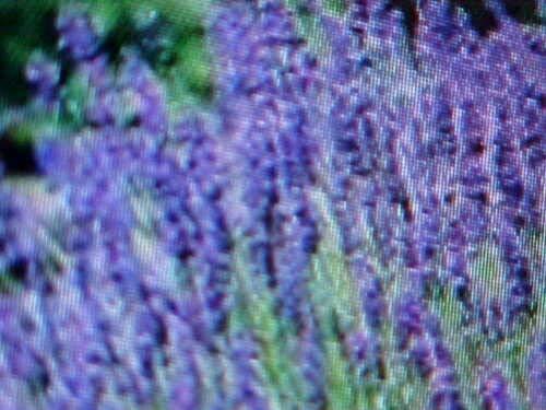 Tiyuki Lavender English Tall Perennial Flower Seed