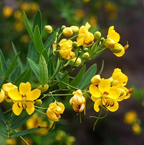 Toyensnow - Senna Wild Cassia 5 Tall Perennial Yellow Flower 75 Seeds