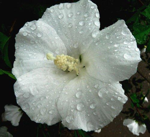 Hardy Hibiscus Seeds WINTER WHITE Perennial Flowering Shrub 10 Seeds