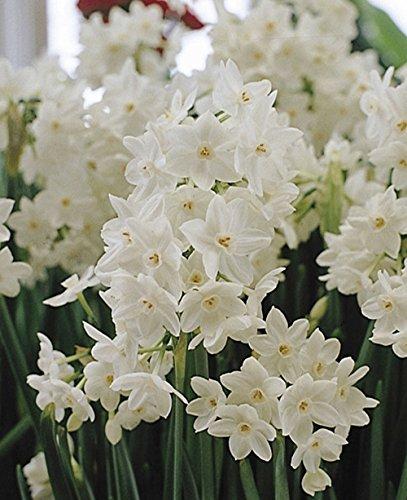 Paperwhite Bulb 10 Pack Daffodil  White Perennial Paperwhite Daffodil Bulbs Yellow Flowers