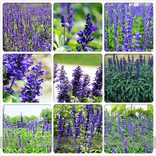 Adb Inc Heirloom Victoria Salvia Farinacea Sage Perennial Flower Seeds