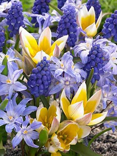20Sweedish Sweets Muscari Tulipa Bulbs Spring Flower Fall Perennial