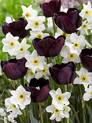 6Yin Yangs Tulip Daffodil Bulbs Spring Flower Fall Perennial Bulb Bloom