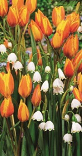 8Sunny Bells Tulip Daffodil Bulbs Spring Flower Fall Perennial Bulb