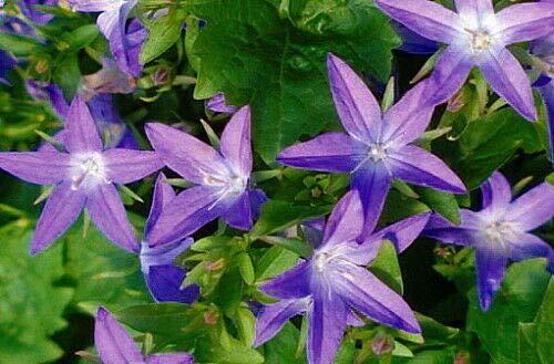 Blue Waterfall Bellflower Perennial - Campanula - Quart Pot