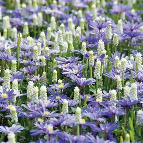 New - 15White Muscari Blue Anemone Bulbs Spring Flower Fall Perennial Bulb