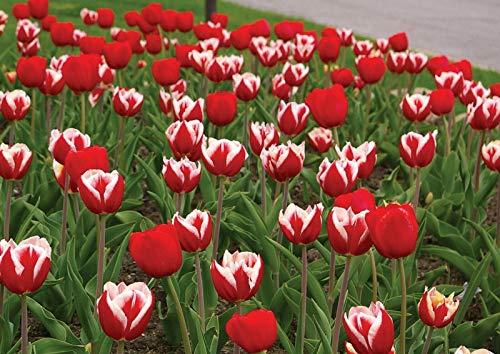 New - 5 Red White Tulip BulbsHot Tamale Spring Flower Garden Fall Perennial