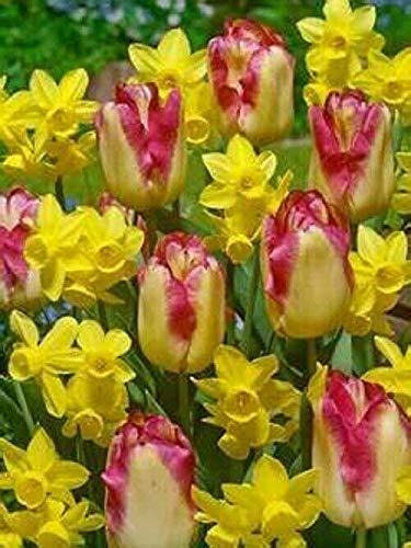 New - 6Blushed Cheeks Tulip Daffodil Bulbs Spring Flower Fall Perennial Bulb 129-6