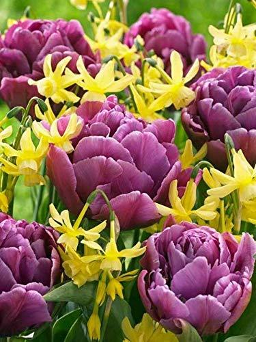 New - 6Double Dance Tulip Daffodil Bulbs Spring Flower Fall Perennial Bulb