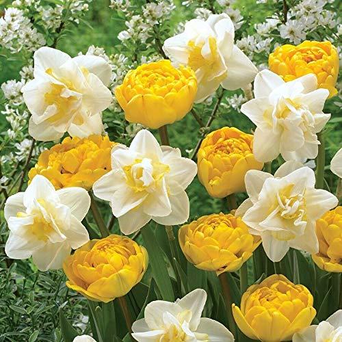 New - 6Moon Stars Tulip Daffodil Bulbs Spring Flower Fall Perennial Bloom