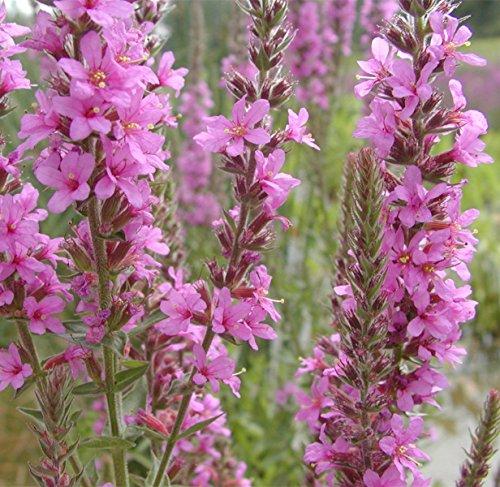 25g Verbena, Verbena Officinalis Erect Perennial Herb Seeds