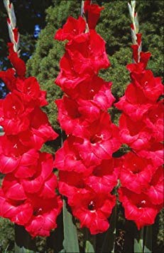 Gladiolus bulbs corms - Red Sensation 10 Bulbs Summer flowering Perennial
