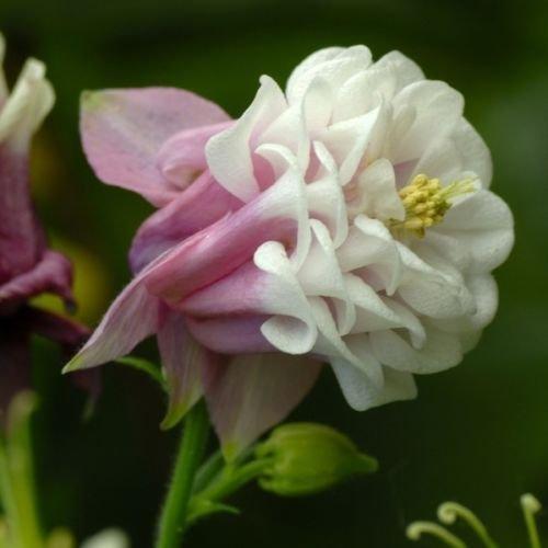 30 Aquilegia Pink Petticoat Flower Seeds  Columbine  Perennial