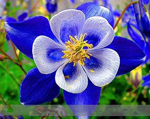 Adb Inc Dd Rare Blue Columbine Perennial Aquilegia Flower Seeds