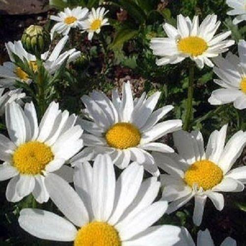 50 Chrysanthemum Shasta Daisy Perennial Flower Seeds  Deer Resistant Gift
