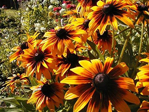 Daisy Gloriosa Perennial Flower 170 Seeds Groco