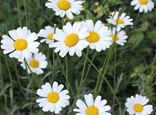 Futaba&reg Pyrethrum Daisy Pyrethrum Cinerariifolium Compositae Perennial Herb 100 Seeds