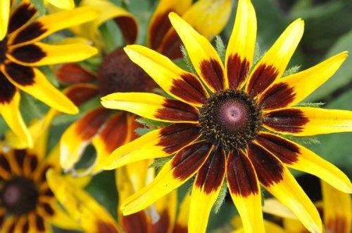 Rudbeckia -kelvedon Star-quotgloriosa Daisy&quot 50perennial Seeds