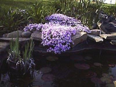 6 Creeping Phlox Plants - Bright Lavenderndash Perennial