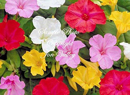 Serendipitys 4 Oclock Rainbow Mix 30 Seeds Mirabilis jalapa Brilliant Blooms Annual - Perennial Flower Trumpet Shape
