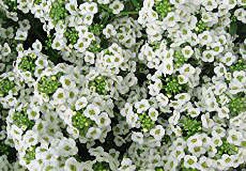 Tall Sweet Alyssum Seeds - Annuals and Perennials 3 Oz