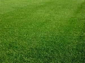 Perennial Ryegrass Seed Oro Verde Tetreploid - 1 Pound - Wizard Seed LLC