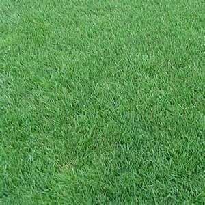 Perennial Ryegrass Seed Oro Verde Tetreploid - 10 Pound - Wizard Seed LLC