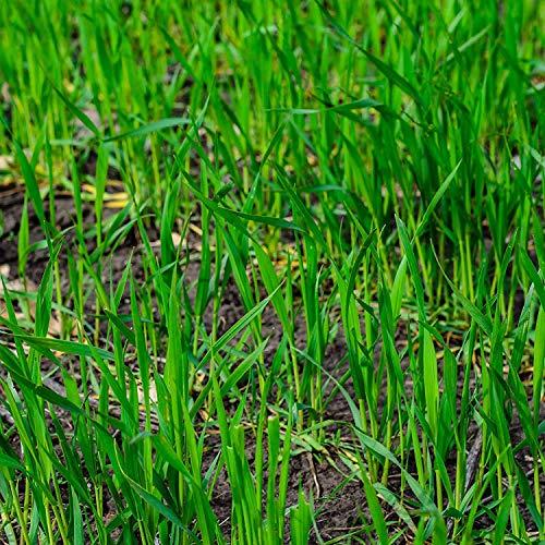 Discount Lawn Care 10LBS Winter Rye Seed Cover CropFood Plot DeerWildlife
