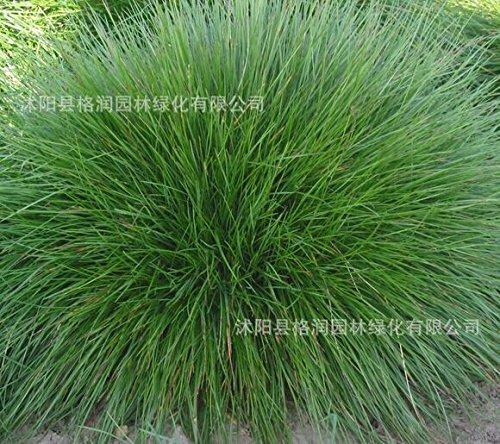 Blue Fescue Grass Seeds - Festuca glauca perennial hardy ornamental beautiful grass seeds for flower pot planters 50pcs