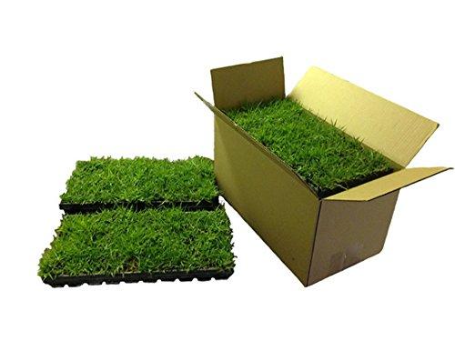 Empire Zoysia Grass Plugs  72 Plugs per Box