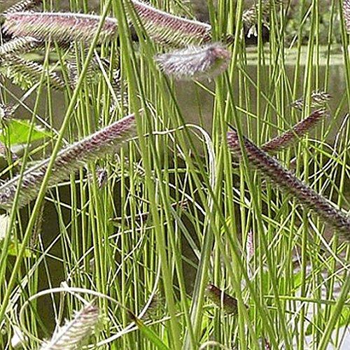 Everwilde Farms - 14 Lb Blue Grama Native Grass Seeds - Gold Vault