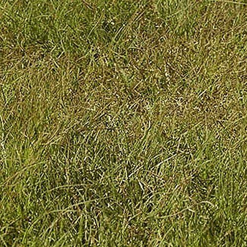 Everwilde Farms - 1 Lb Buffalo Grass Native Grass Seeds - Gold Vault