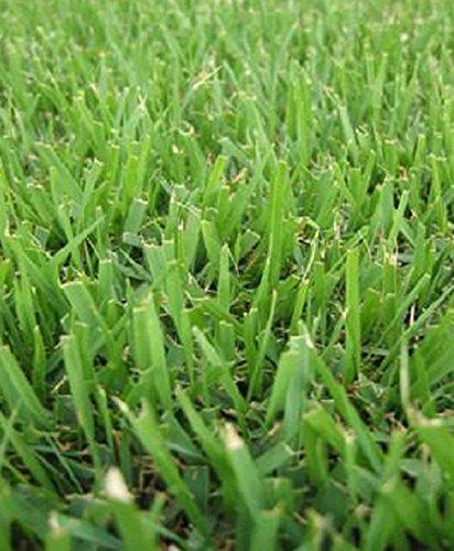 Compadre Zoysia Grass Seed - 8 Oz  12 Lb