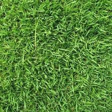 The Dirty Gardener Zenith Zoysia Grass Seed - 1 Pound