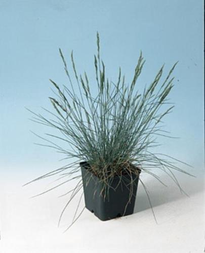 Ornamental Grass Seed - Festuca Fescue Glauca Blue Fescue Seeds