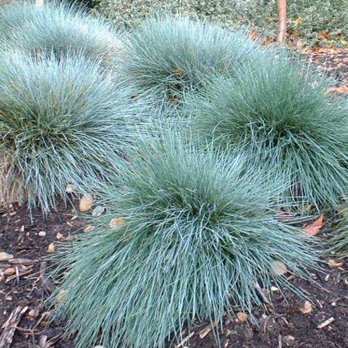 The Dirty Gardener Festuca Glauca Blue Fescue Ornamental Grass - 250 Seeds