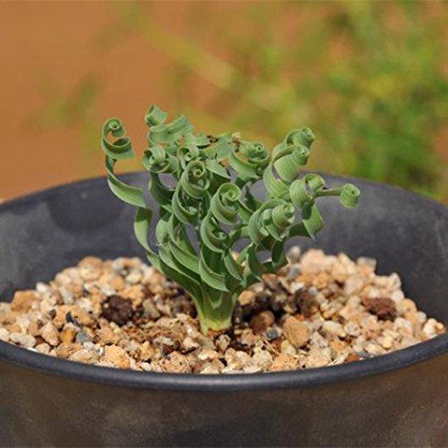 ADB Inc 600pcs Spring Grass Seeds Succulents Plant Grass Seeds Spring Grass 600 Seeds