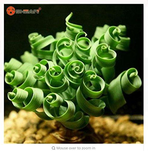 Thanatorn seed shop Cheap 50pcs  bag Latifolia Spring grass seed Albuca namaquensis Chinese Ornamental Bonsai Plant Seed Decorative DIY Interesting