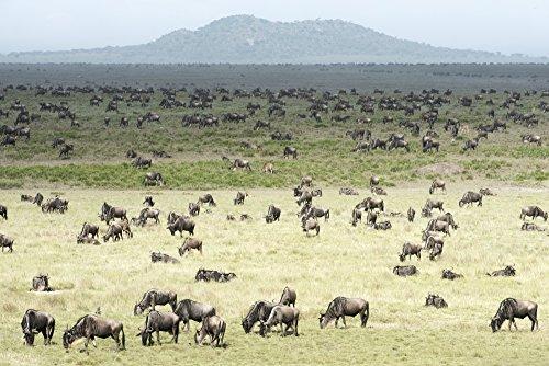 Posterazzi Large herd of Wildebeest Connochaetes taurinus grazes on the Serengeti short grass plains near Ndutu Ngorongoro Crater Conservation Area Tanzania Poster Print 19 x 12