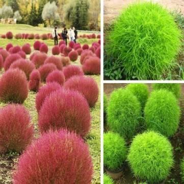100pcs Garden Kochia Scoparia Seeds Annual Herb Foliage Plant