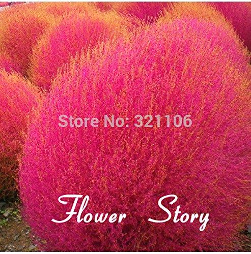 50 Kochia scoparia seeds seeds Burning Bush Grass Rapid Grow HardySummer Cypress
