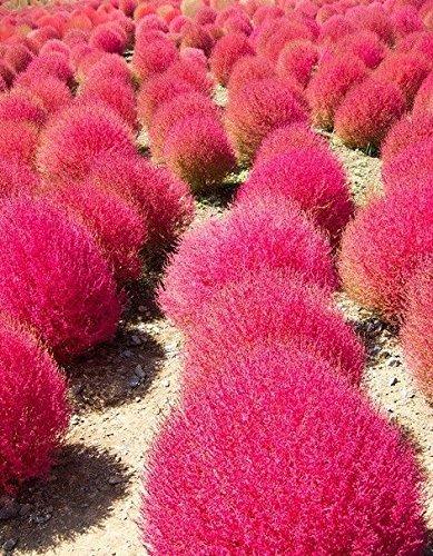 Grass Burning Bush Kochia Scoparia Red Flower Garden 1000 Seeds