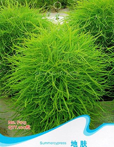 Summer Cypress Seeds Kochia Scoparia Chenopodium Scoparia Plants F013