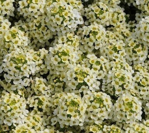 1000 Alyssum SeedsEaster Bonnet Lemonade Excellent edging plantintense flowers