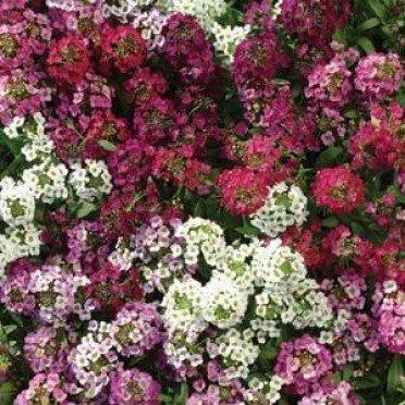 1000 Alyssum Seeds Easter Bonnet Mix Excellent edging plantintense flowers