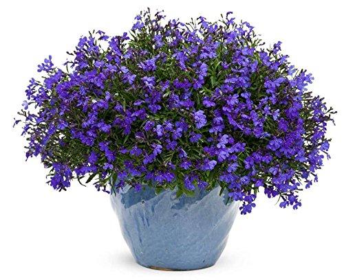 Lobelia-Seeds-Cobalt-Blue-Blue-Carpet-showy-dependable-edging-plant-perennial
